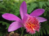 "Pleione Asama gx ""Red Grouse"""
