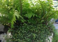 dryopteris felce garden studio bologna vivaio progettazione giardino terrazzo