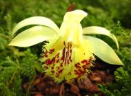 "Pleione formosana f. alba ""Snow Bunting"""