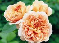 tea clipper david austin roses
